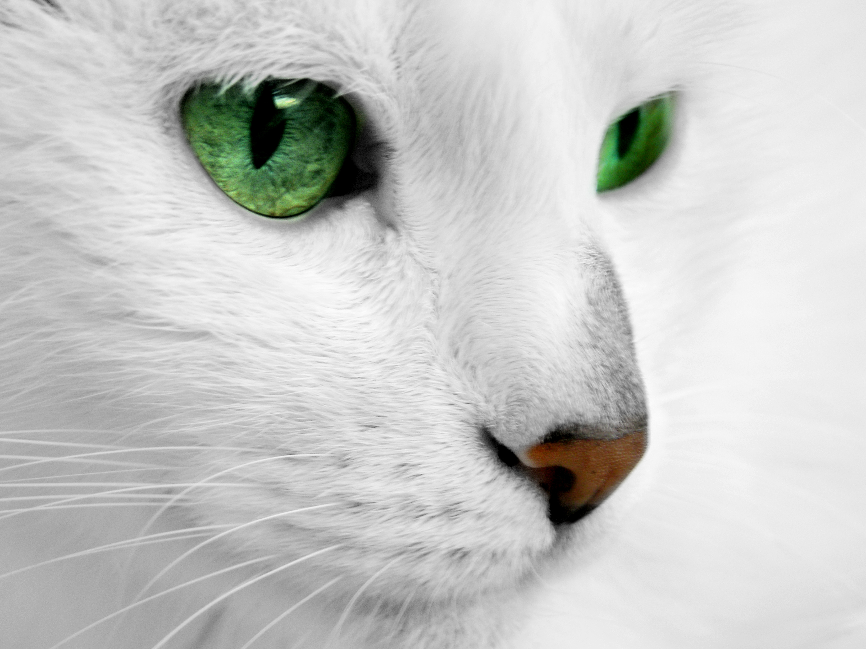 White-Cat-Hd-Wallpapers-3