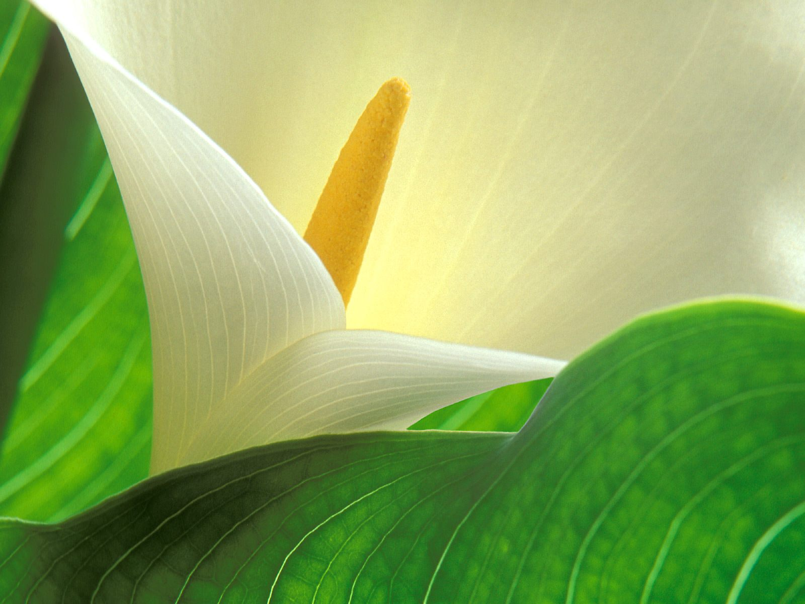Study of Light and Form, Calla Lily